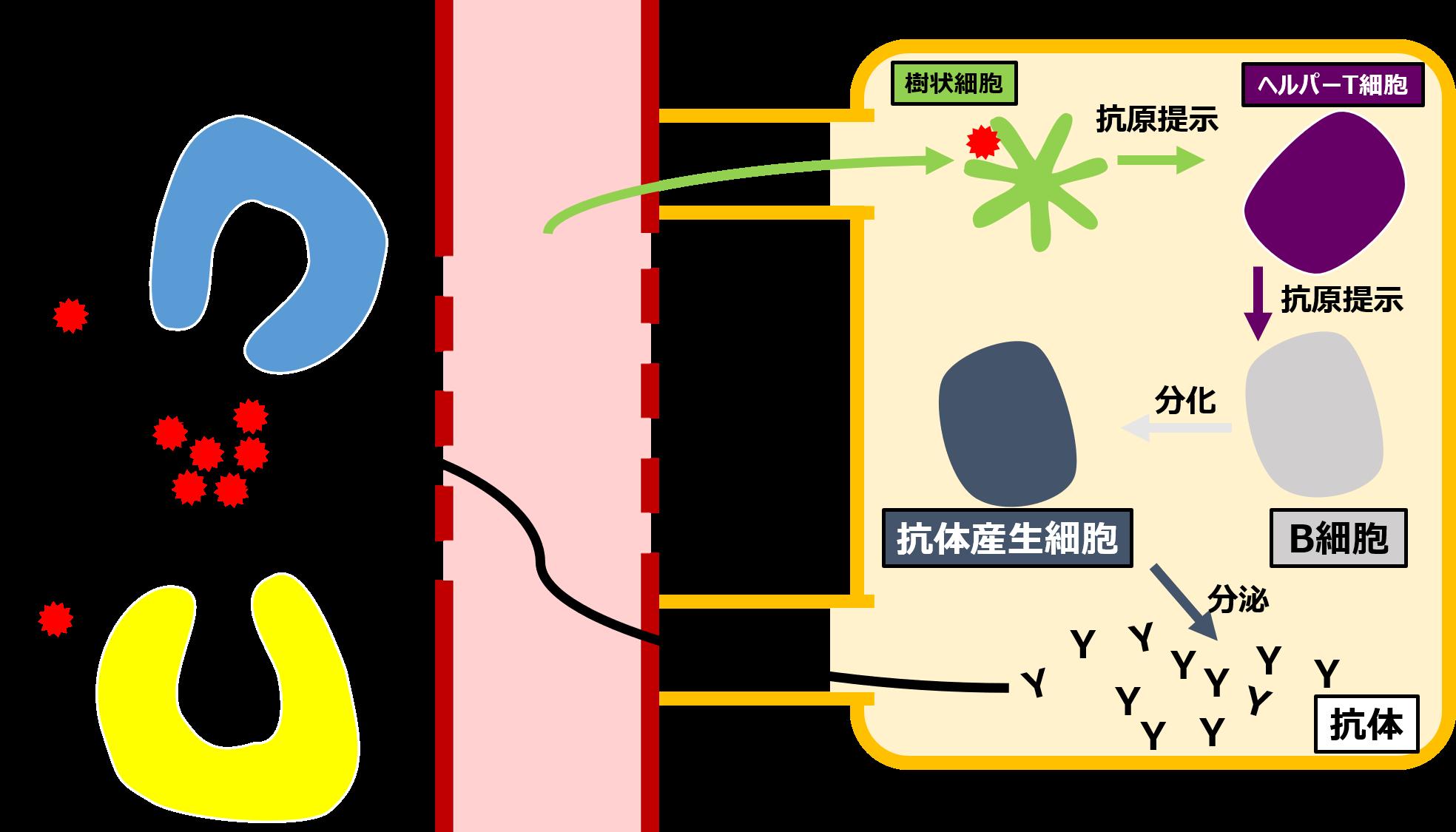 樹状細胞がヘルパーT細胞に抗原提示し、ヘルパーT細胞はB細胞に抗原提示する。B細胞は抗体産生細胞に分化し、抗体を分泌する。