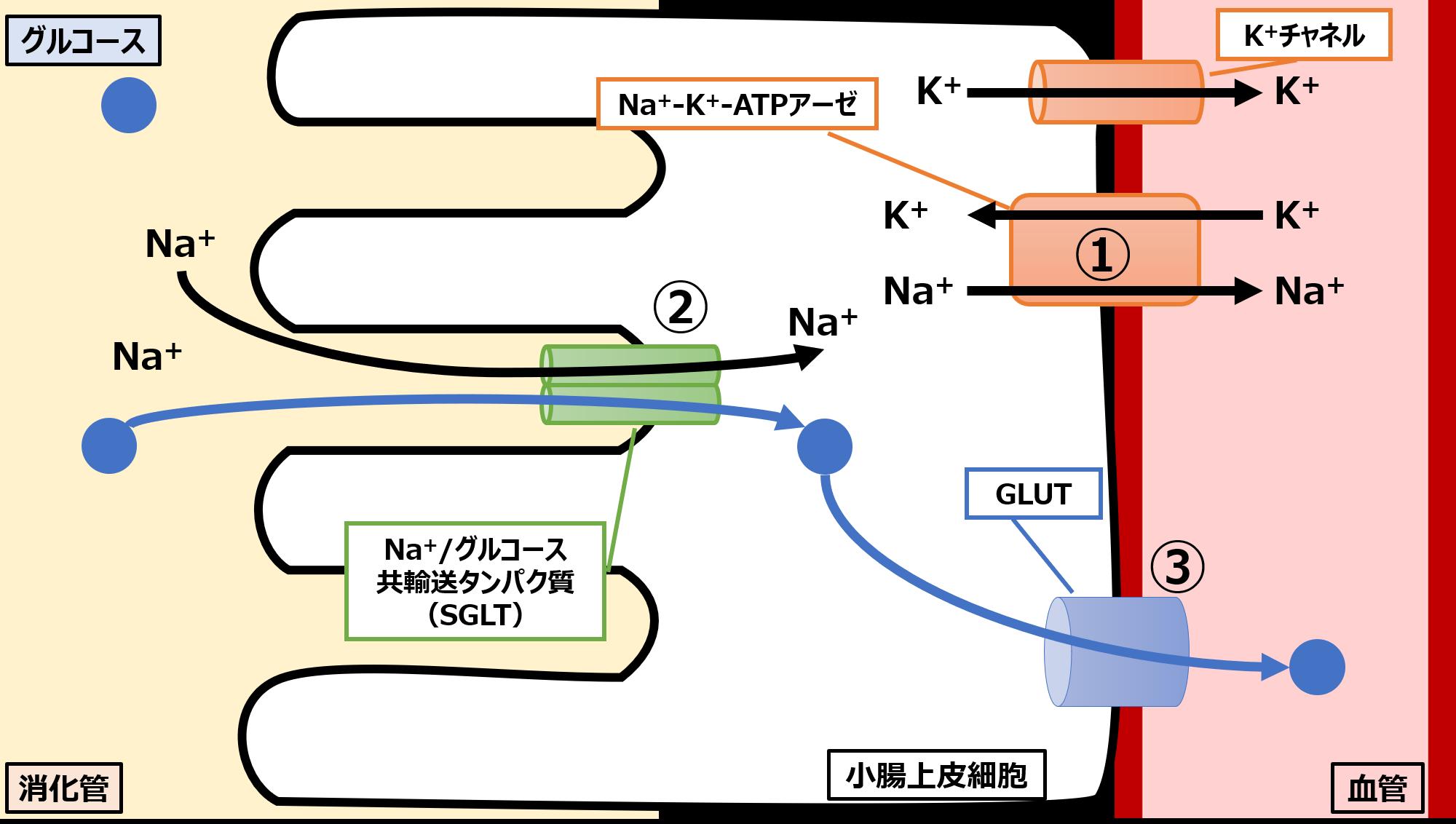 小腸上皮細胞でのグルコース吸収のメカニズム