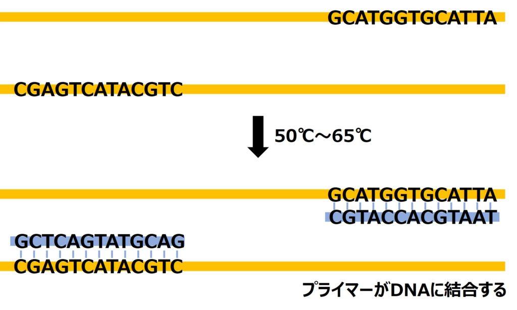 解離したDNAを冷やすと再び2本鎖に戻ろうとするがその際にプライマーと結合する