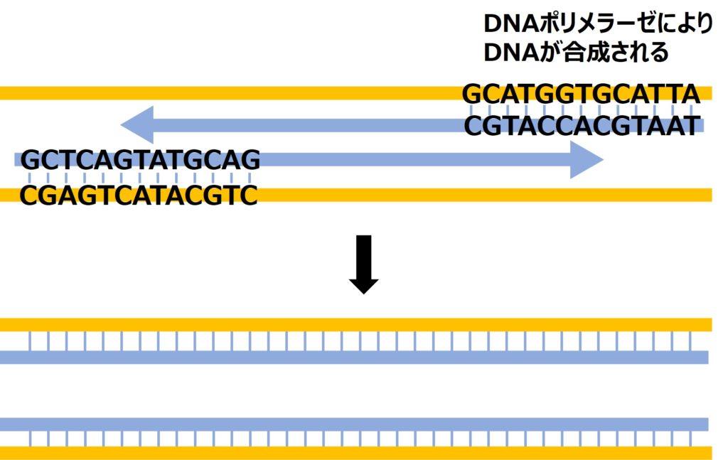 プライマーを足場に、DNAポリメラーゼによりDNAが複製される