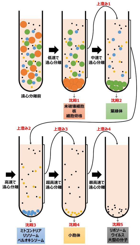 細胞小器官を遠心分離によって分ける