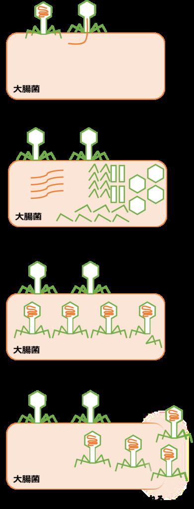 T2ファージは大腸菌に感染し、DNAを注入し、大腸菌の中でDNAと外殻を複製し、組み立てられた子ファージは大腸菌を溶菌して放出される。