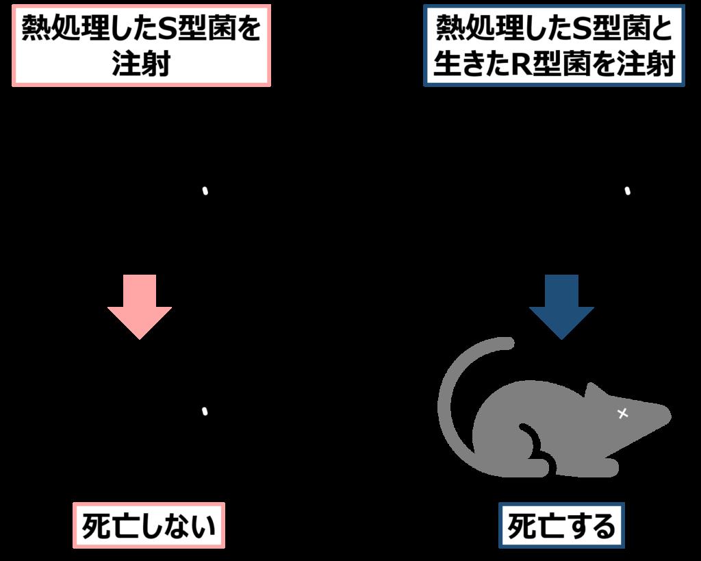 加熱処理したS型菌を注射してもネズミは死なないが、加熱処理したS型菌と生きたR型菌を注射するとネズミは死ぬ