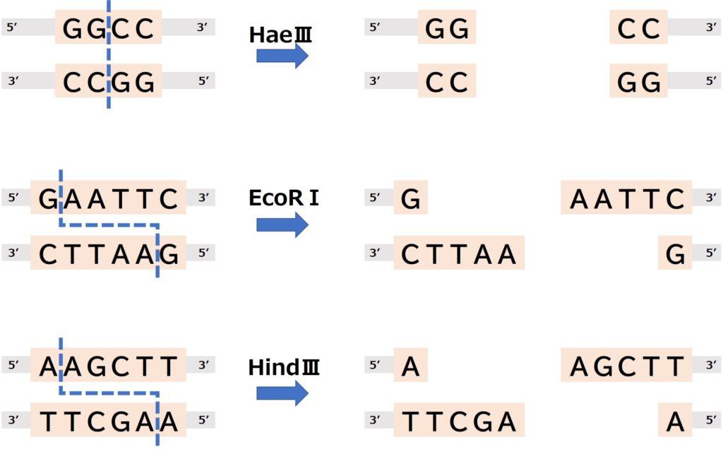 制限酵素が切断する配列とその切断の仕方